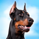 Doberman Dog Simulator  (Mod) 1.1.1