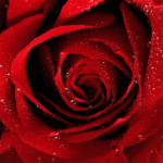 Roses Jigsaw Puzzles  (Mod)
